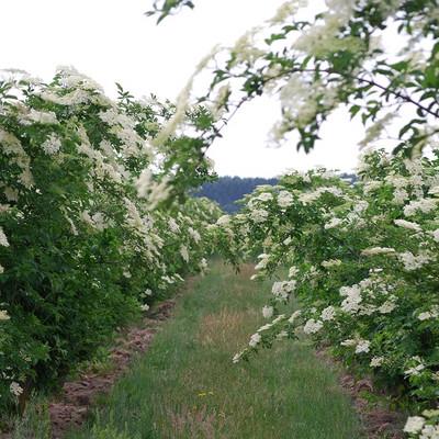 Holundersträuche mit weißen Holunderblüten