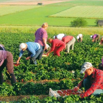 Mitarbeiter ernten Erdbeeren auf einem Feld
