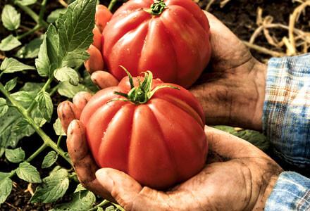 Haende mit Tomaten