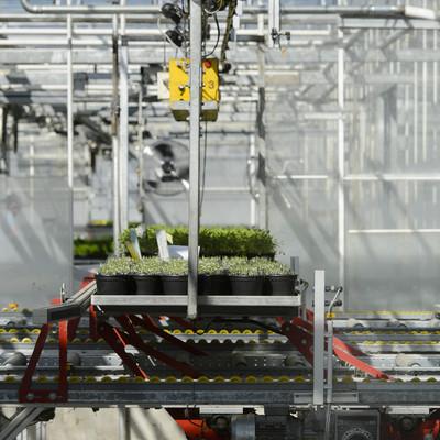 maschineller Transport von Kräutertöpfen im Gewächshaus