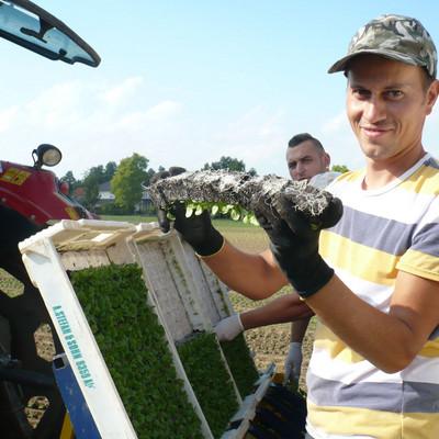 Erntearbeiter bei der Feldsalat-Ernte