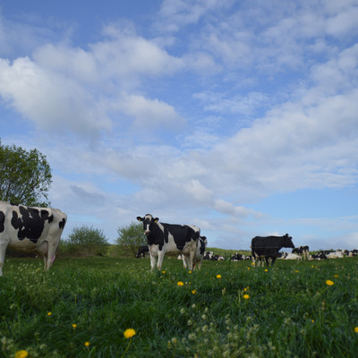 schwarz-weiße Kühe auf der Weide