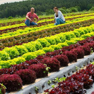 Bauer Maier und Frau knien auf einem Salatfeld zwischen Salatköpfen