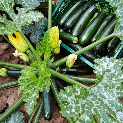 Zucchinipflanze und Zucchinis auf einem Feld von oben