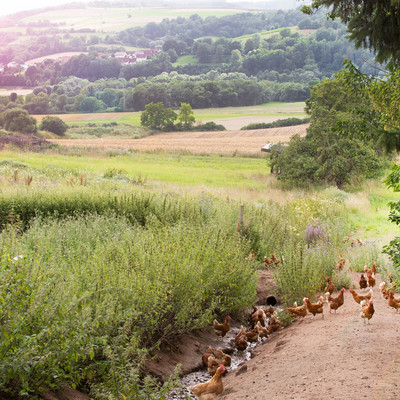 Hühner laufen am Waldrand/feldrand