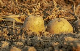 Kartoffeln stecken im Boden eines Feldes
