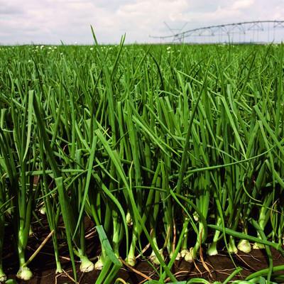 Feld mit angepflanzten Zwiebeln