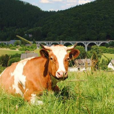 eine Kuh liegt auf einer Wiese