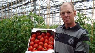 Betriebsleiter hält eine Kiste reifer Tomaten in einer Pappkiste zwischen Tomatenpflanzreihen in einem Gewächshaus