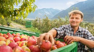 Der Betriebsleiter steht auf einer Apfelplantage und greift einen Apfel in einem Container, der mit Äpfeln befüllt ist