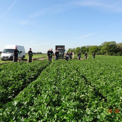 Erntearbeiter auf einem Feld