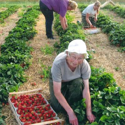 Mitarbeiter auf dem Feld bei der Erdbeerernte