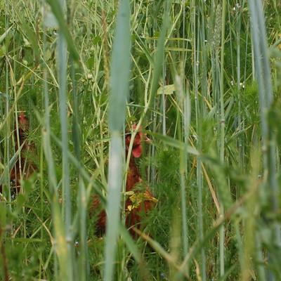 Hühner versteckt zwischen hohem Gras
