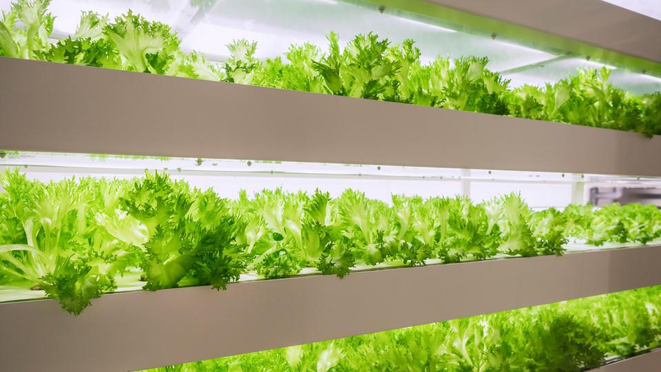 Indoorfarming Salat