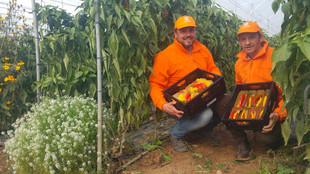 Zwei Mitarbeiter knien zwischen zwei Pflanzreihen im Gewächshaus, jeder hält eine Kiste mit Paprikafrüchten in den Händen