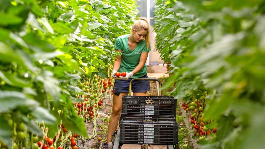 Lisa Höfler bei der Rispentomaten Ernte