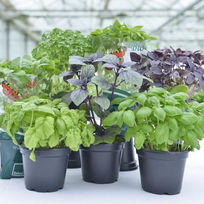 sechs verschiedene Basilikumpflanzen im Topf