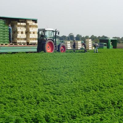 Erntearbeiter mit einem Traktor und Anhänger auf einem Feld