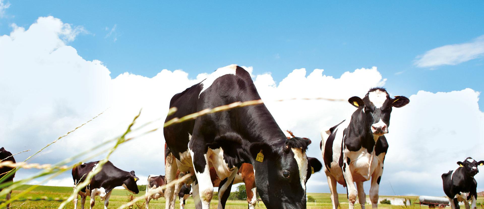 schwarz weiße Kühe stehen auf einer Weide
