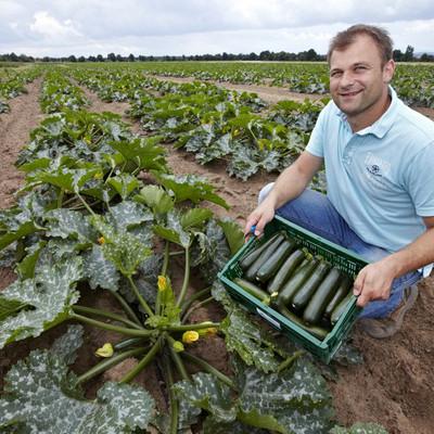 Mann kniet auf einem Zucchinifeld und hat eine Kiste mit Zucchinis in den Händen