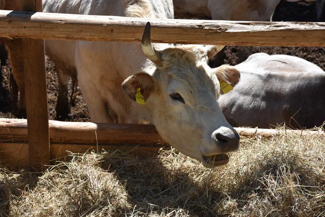 Kühe auf dem Hof Amico Bio