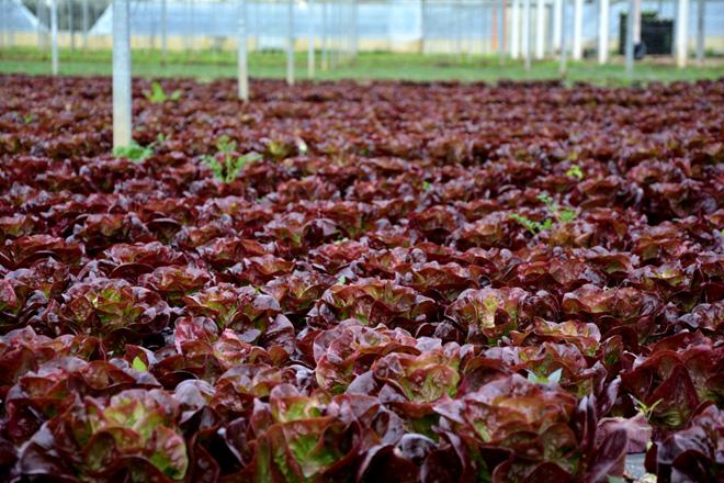 Salatfeld im Gewächshaus