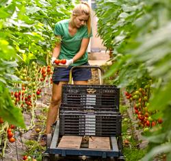 Lisa Höfler bei der Rispentomaten-Ernte