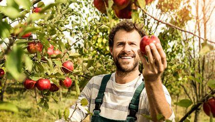 Apfelbauer bei der Ernte