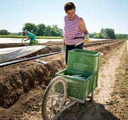 Frau mit Schubkarre beim Spargelstechen auf dem Feld