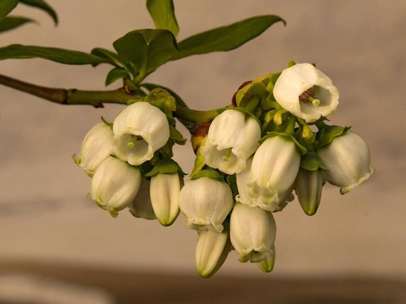 Heidelbeerblüte weiß