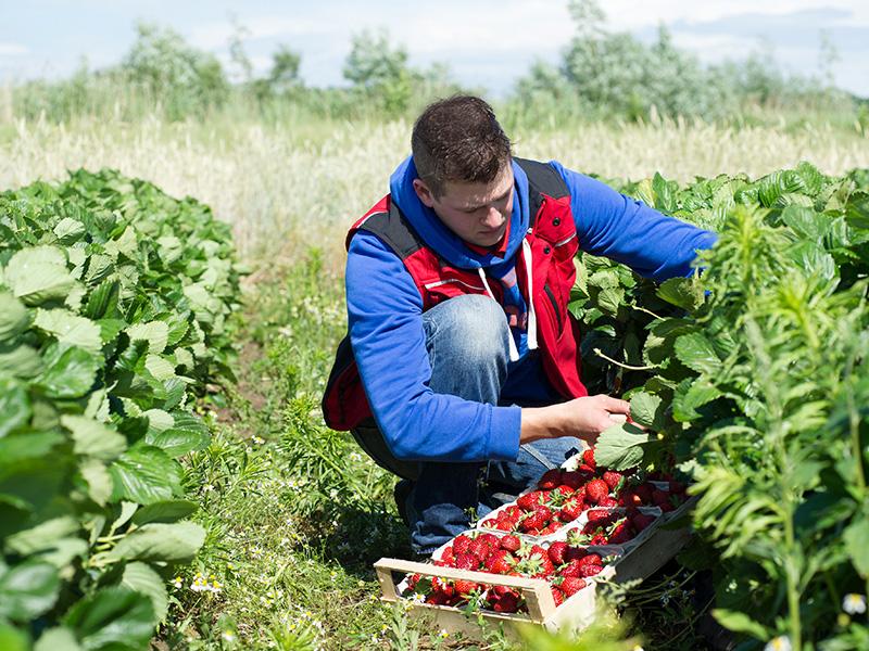 Ein Sohn des Familienbetriebes Knaup bei der Erdbeerernte