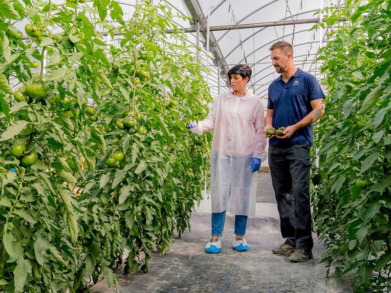 Tomaten im Gewächshaus werden geprüft