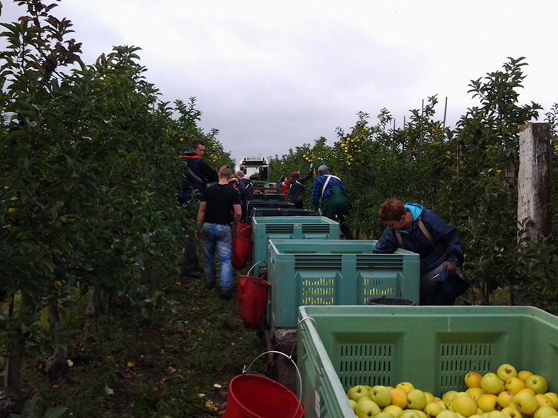 Ernteeinsatz in der Apfelplantage
