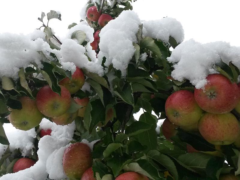 Vom Schnee bedeckte Äpfel am Baum
