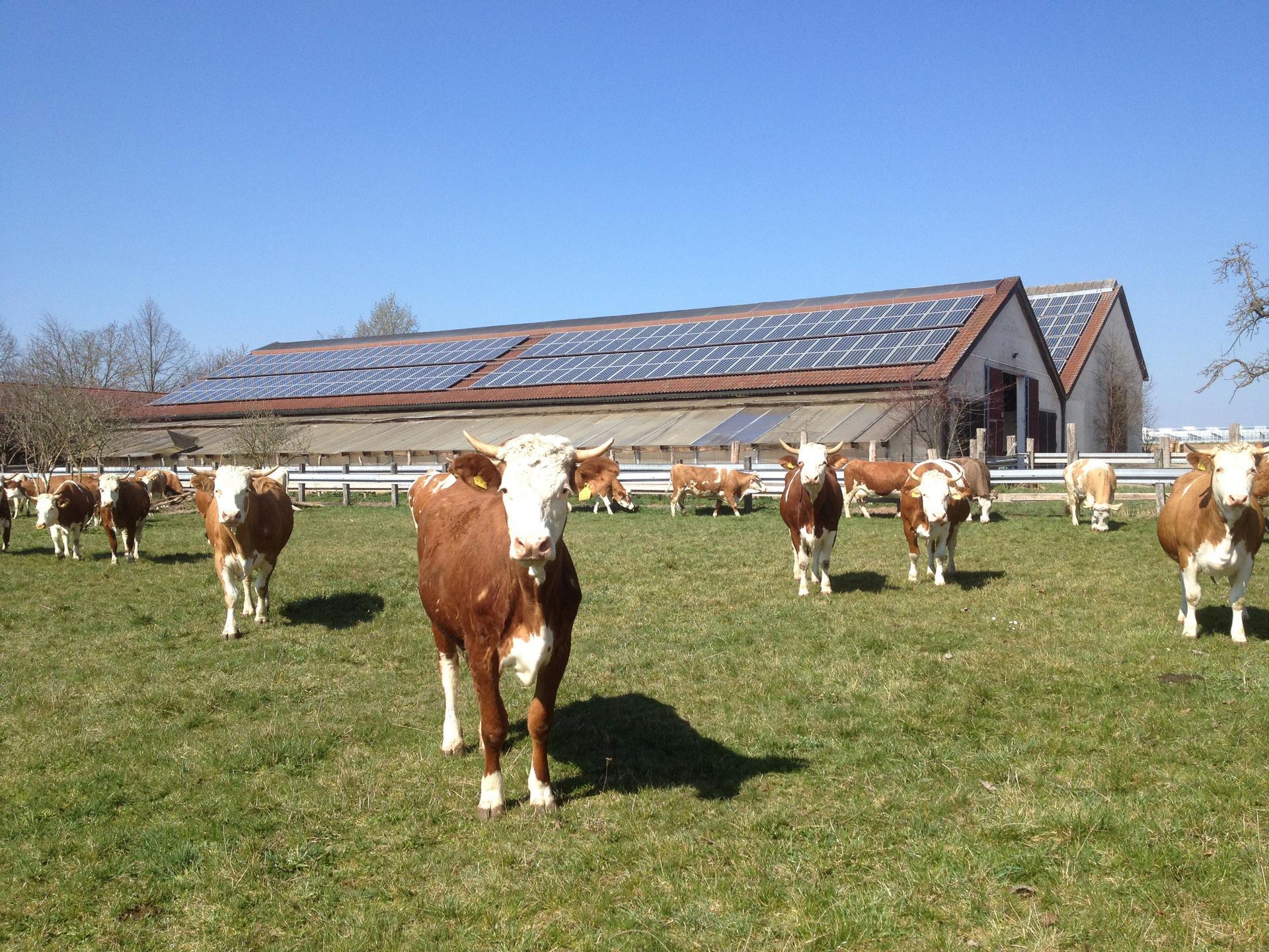 Kühe im Auslauf