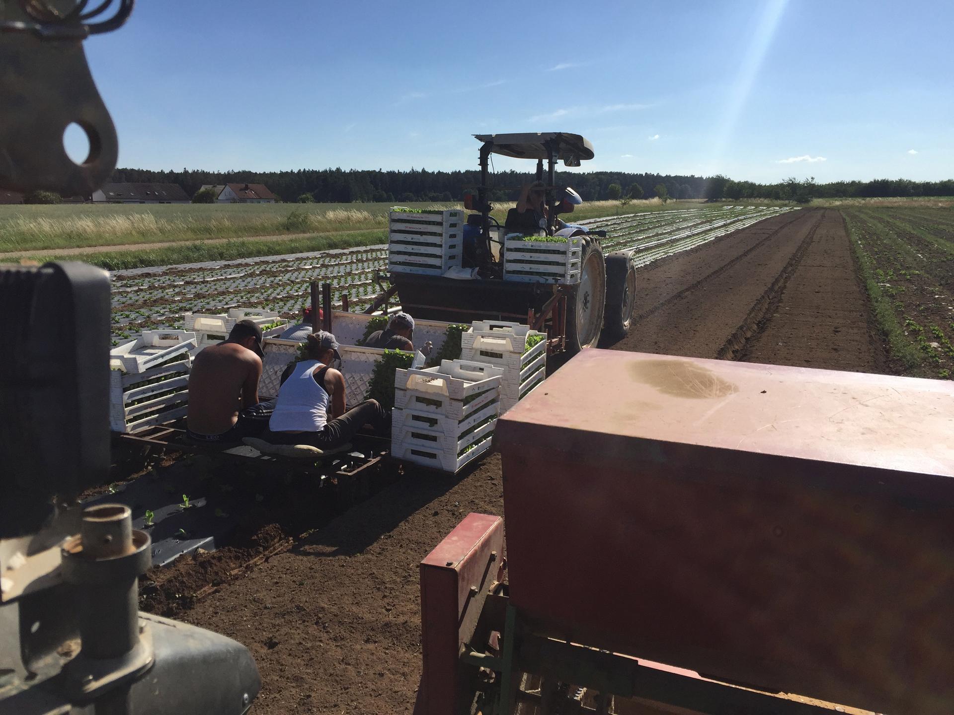 Mitarbeiter beim Salatpflanzen