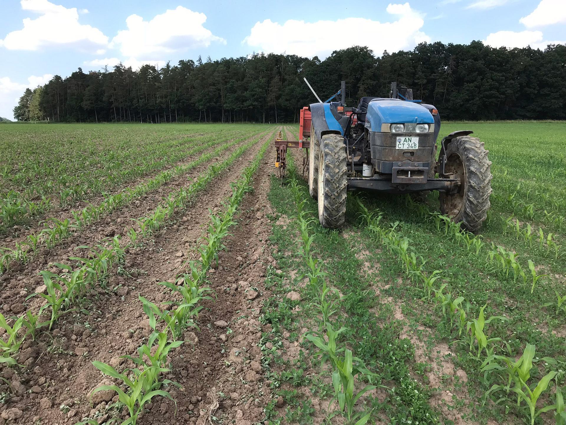 Traktor im Maisfeld