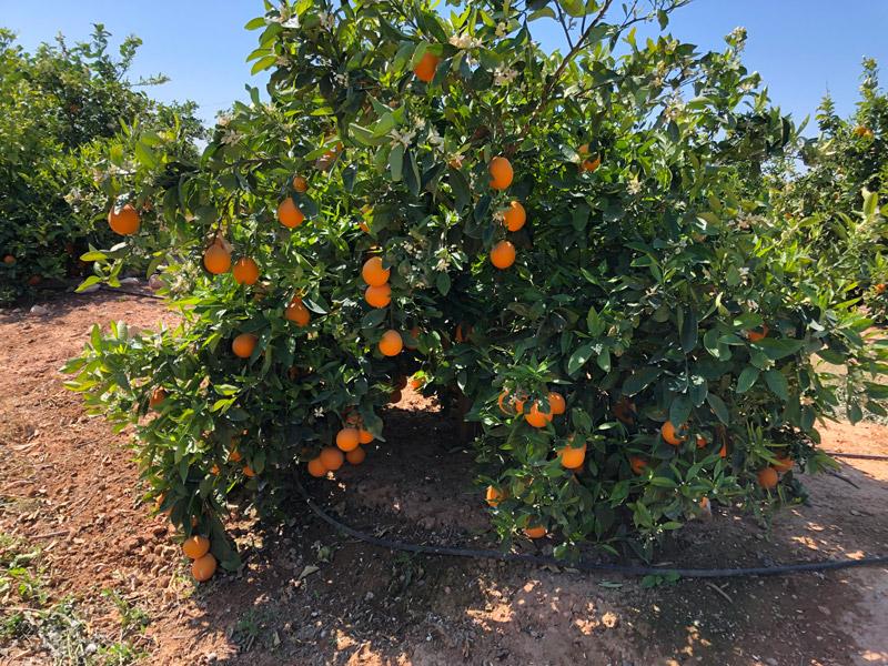 Orangenbaum auf der Zitrusfrüchte Plantage