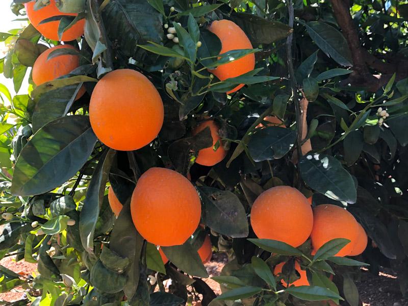Orangen an einem Orangenbaum.