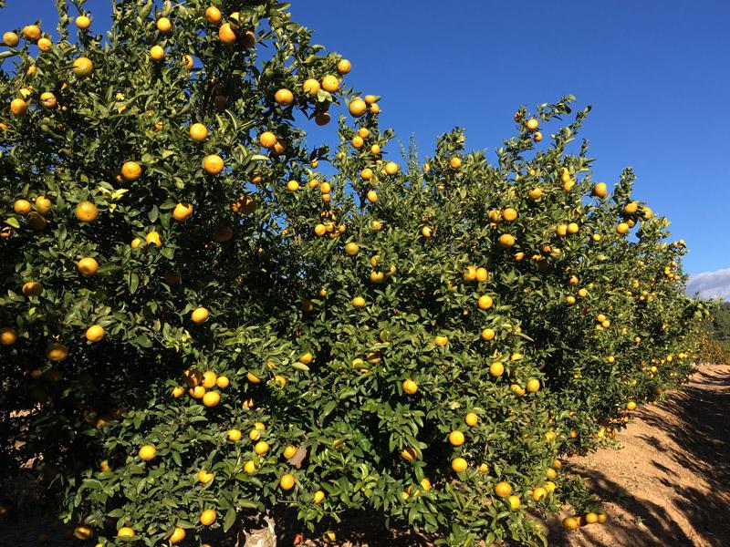 Orangen auf einem Orangenbaum