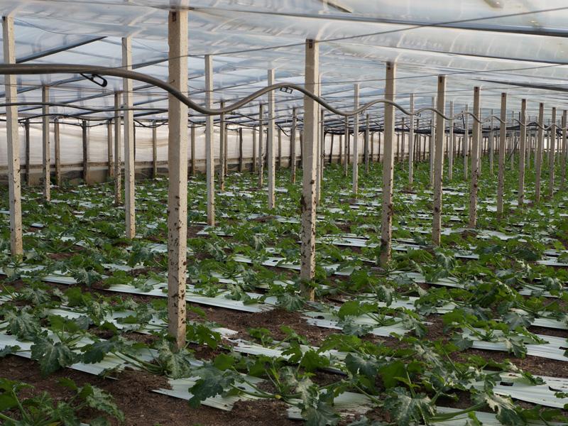 Tomatenplantage von innen mit vielen Tomatenpflanzen