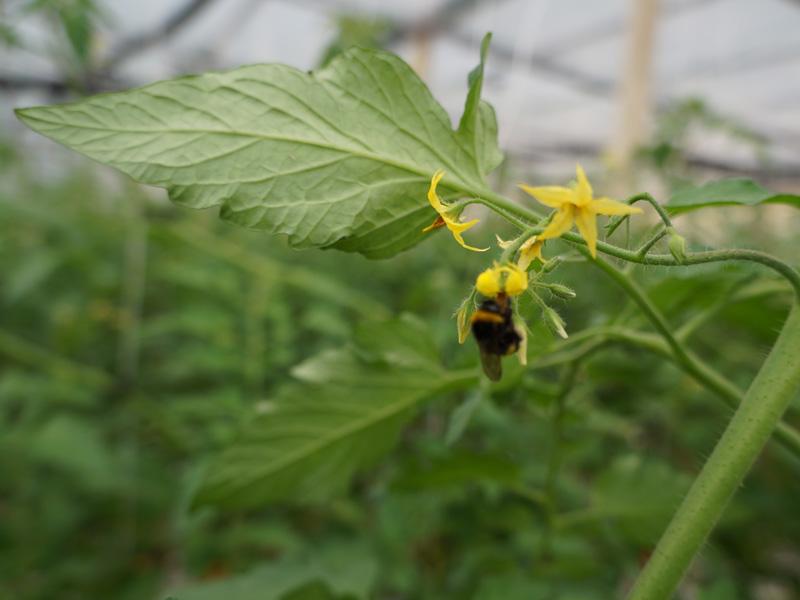 Biene beim bestäuben der Tomatenpflanze