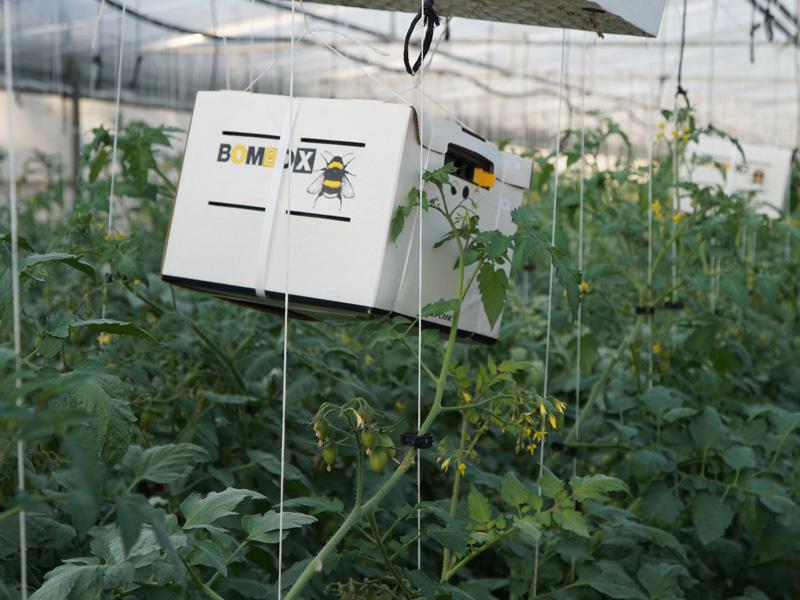 Bienenbox auf einem Tomatenstrauch zum bestäuben der Früchte