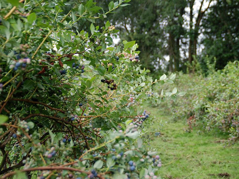 Eine Heidelbeeranlage mit Fokus auf einem Heidelbeerstrauch mit reifen und unreifen Beeren