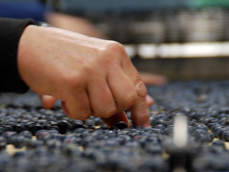 Eine Hand sortiert breitflächig verteilte Heidelbeeren