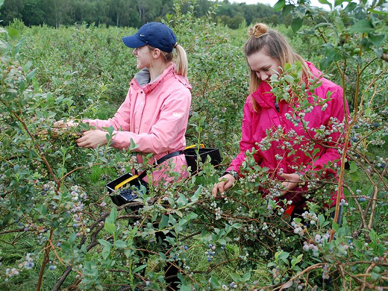 Zwei Mitarbeiterinnen pflücken Heidelbeeren auf der Heidelbeeranlage