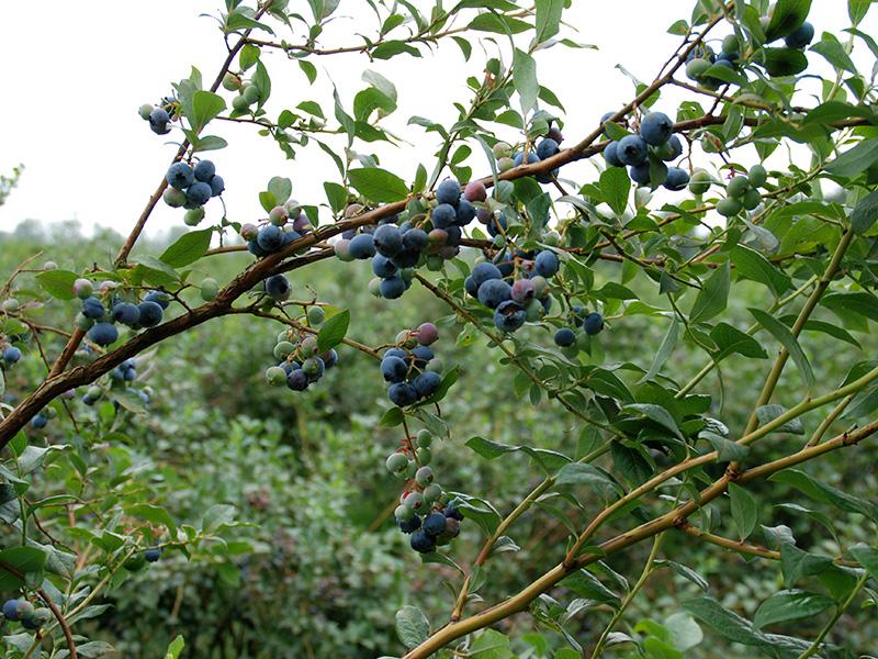 Heidelbeerstrauch mit reifen und unreifen Beeren