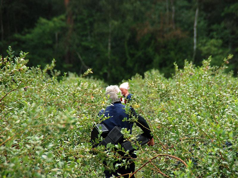 Ein Mitarbeiter läuft zwischen Heidelbeersträuchern auf einer Heidelbeeranlage, er ist mir mehreren Erntekisten ausgestattet