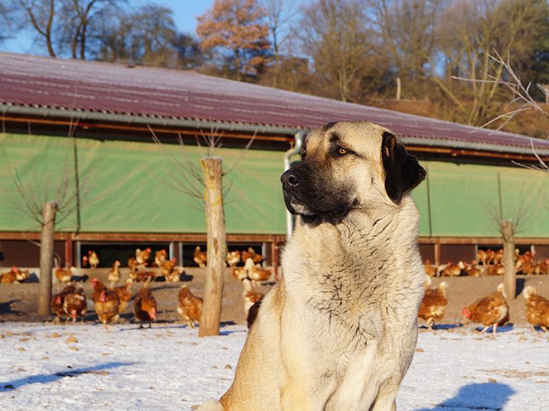 Herdenschutzhund vor Stall