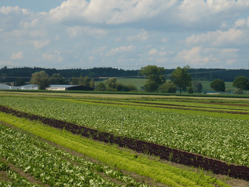 Blick über das Salatfeld
